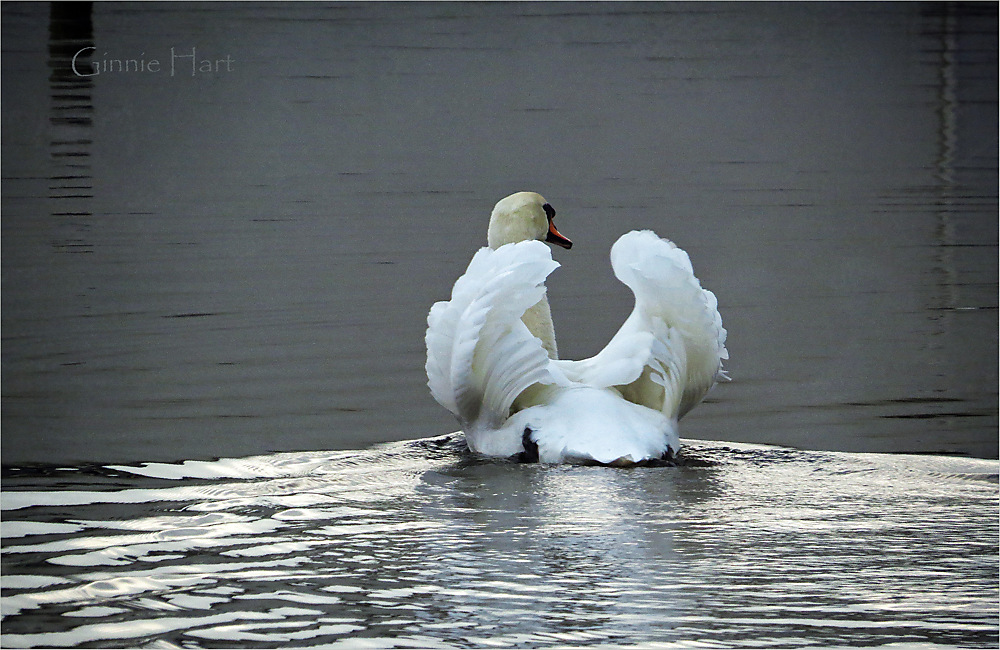 photoblog image <s>Boat</s>  Swan Friday